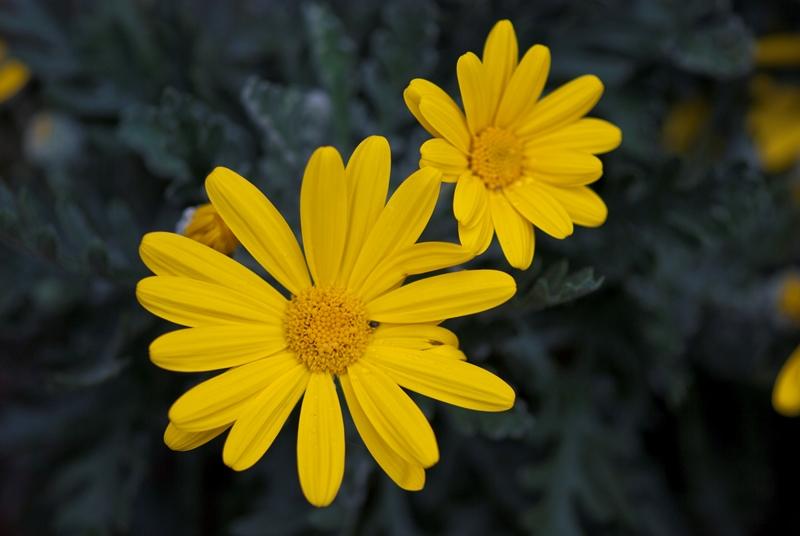 La rinitis alérgica: alergia al polen (o fiebre del heno) y rinitis alérgica perenne